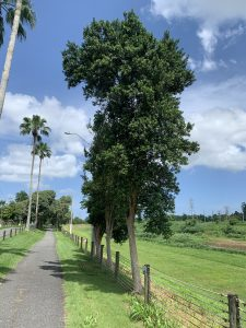 Malagueta tree in Puerto Rico pimenta racemosa