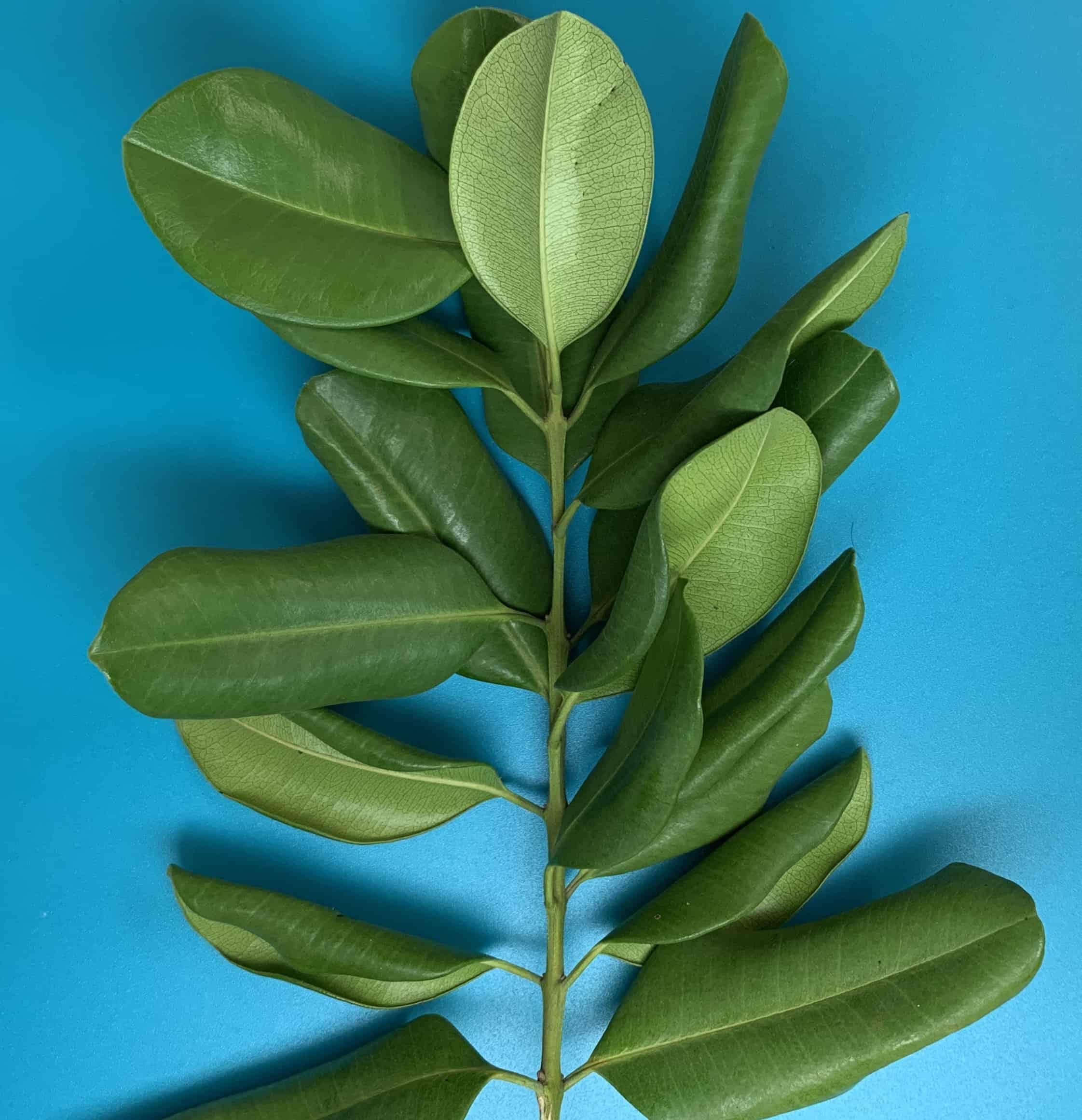 "branch of the Malagueta tree ""bay rum'"