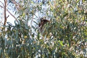 globulus eucalyptus tree with Australian koala