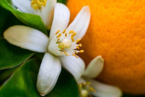 azahar flor de la naranja amarga